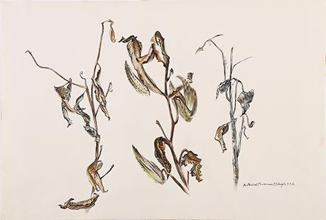 Schaefer, Carl, 1935, Milkweed Carnarvon, 56x74